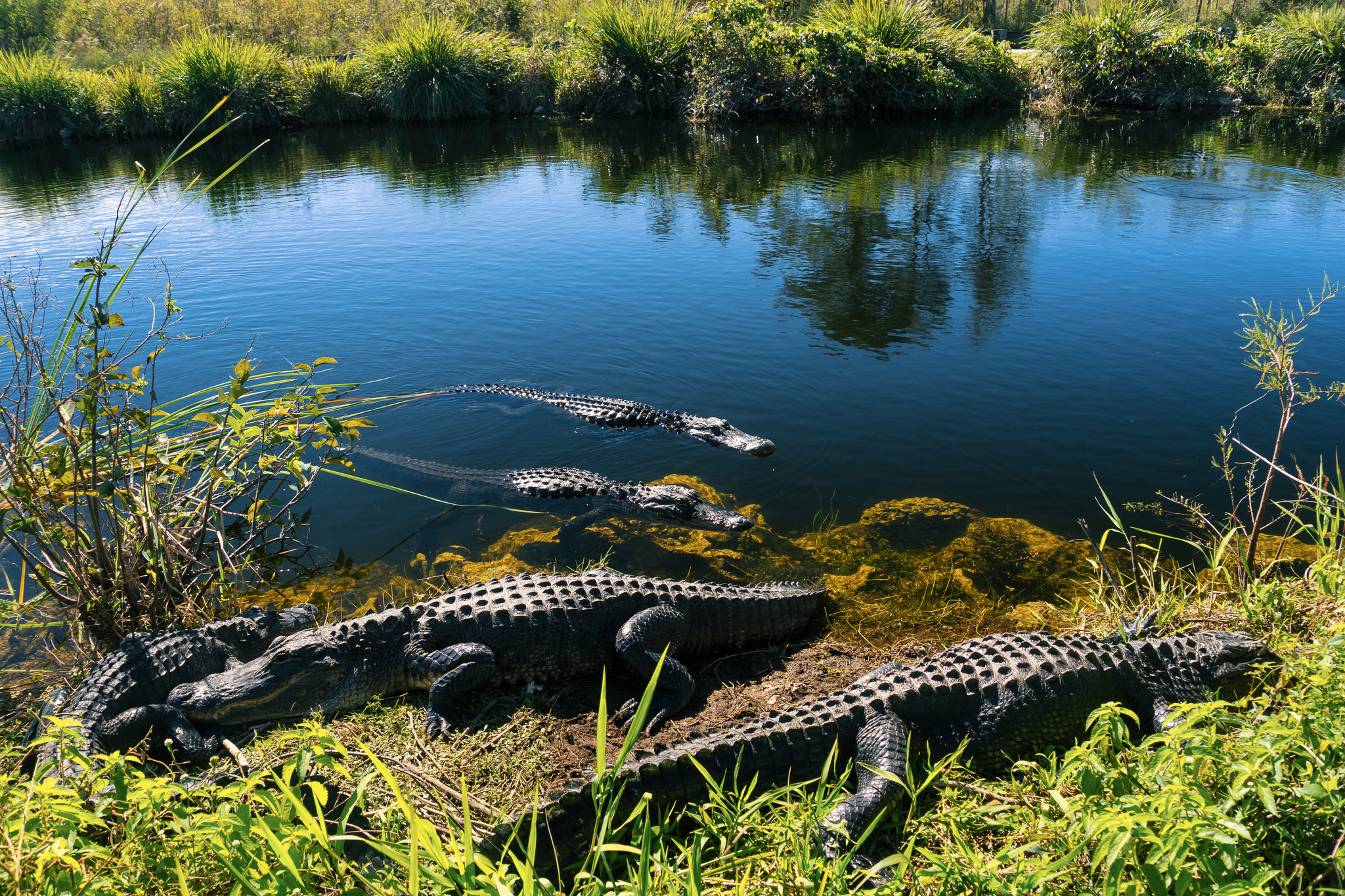 Most beautiful state US USA, Florida, Herd of crocodiles enjoying the sun in everglades national park